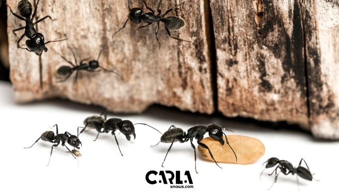How to Get Rid of Ants in Kitchen